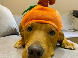 golden retriever with a pumpkin hat on